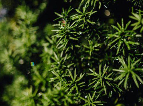 Een aantal goede redenen om een Taxushaag te plaatsen in je tuin